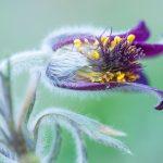 makro, jak fotit, praha, Dendrologicka zahrada_krenek_ jak fotit květiny, koniklec luční