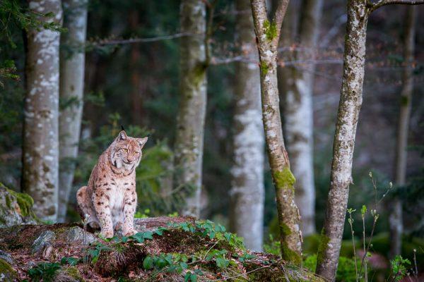 wildlife, fotograf, václav, křížek, focení zvířat. kurz,bavorský les, ochránce zvířat, tichý lovec, rys, focení rysa